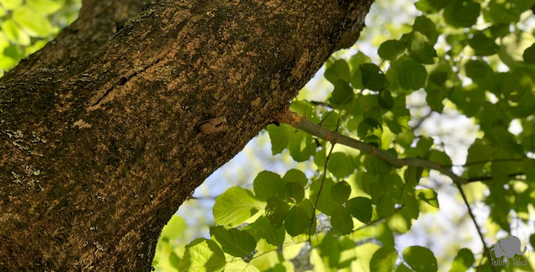 The cicadas exoskeleton